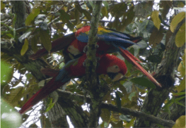Scarlet macaws in trees on the riverbank, in Yasuni National Park in the Amazon rainforest