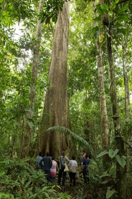 The hidden giants of the Amazon forest. Do not miss the chance to visit the oldest bottle-trunks and strangler figs nearby Pankotsi