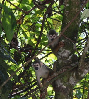 Wildlife watching in Yasuni National Park, in the Ecuadorian Amazon rainforest
