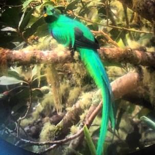 A beautiful quetzal in the region of Dota, Costa Rica