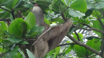 A sloth eating high in the trees near Arenal, Costa Rica