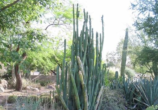 san-pedro-cactus.jpg