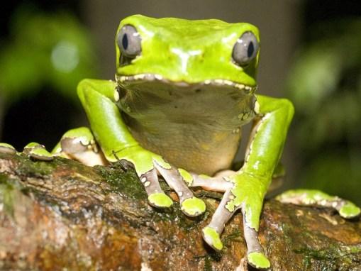 kambo-frog.jpg