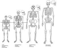 Lucy - Australopithecus afarensis - Ardipithecus ramidus ...