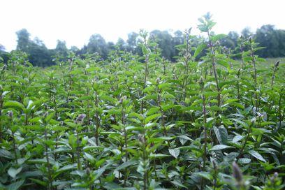mint-field