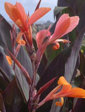 Suncrest Nurseries Inc Search Our Plant Database