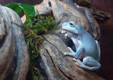 Whites Tree Frog baby, 8 or 9 months old