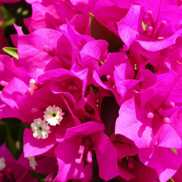 Miami Pink Bougainvillea
