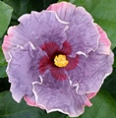 Blueberry-Thrill-cajun-hibiscus
