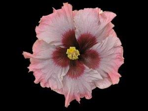 Cajun Beau Vie Cajun Hibiscus