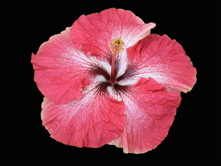 Creole Belle cajun hibiscus