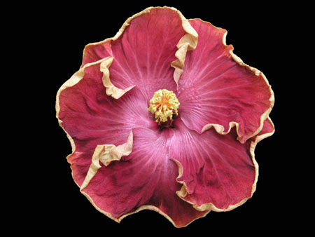 curly top cajun hibiscus