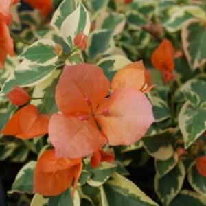 Orange Ice Bougainvillea