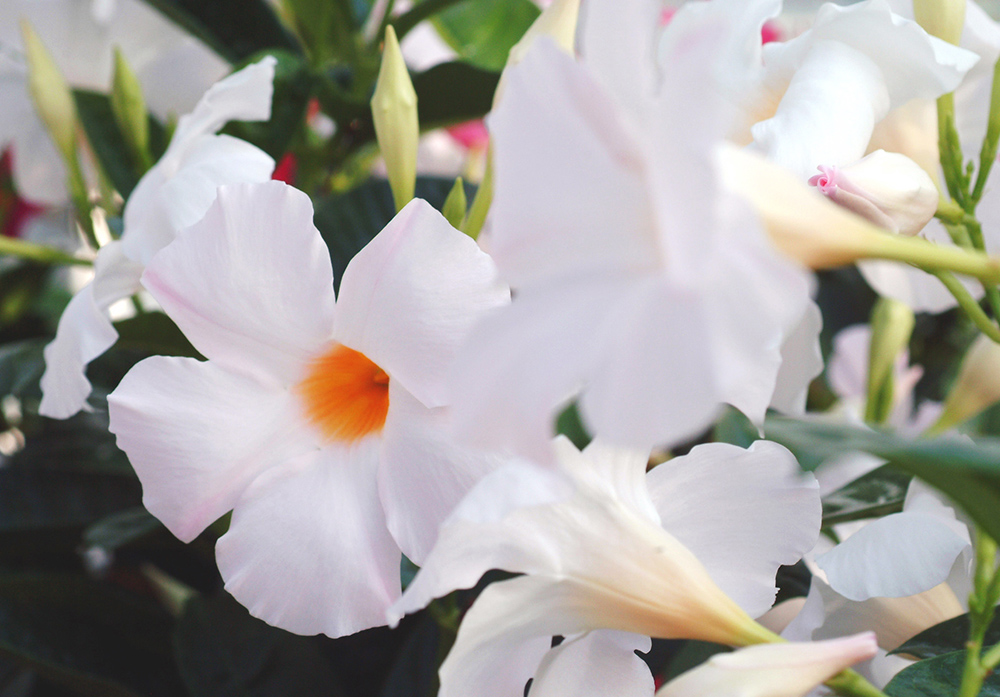 Sun Parasol Mandevilla Giant White Sunfire Nurseries
