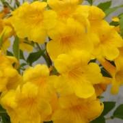 sun trumpets tecoma yellow