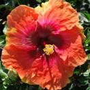 big-easy-cajun-hibiscus