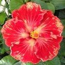 cajun-paprika-cajun-hibiscus