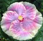 cajun-princess-cajun-hibiscus