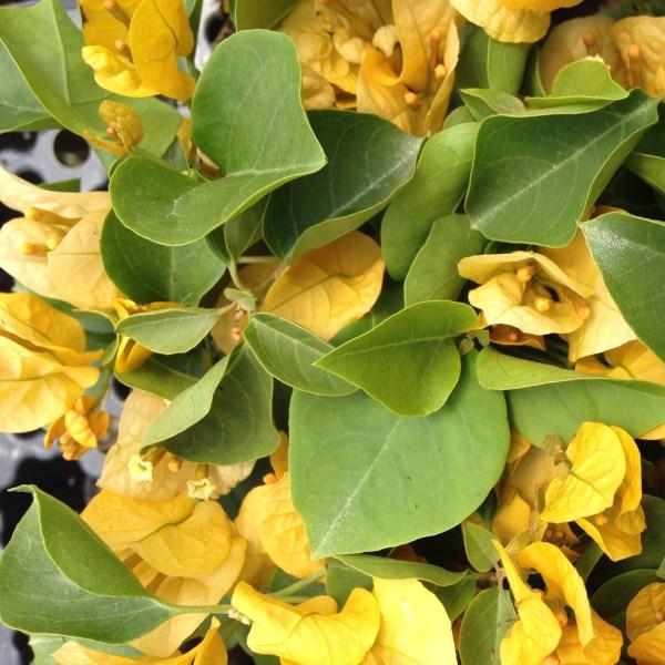 california-gold-bougainvillea