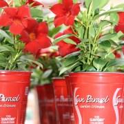 sun-parasol-mandevilla-Garden-Crimson-5