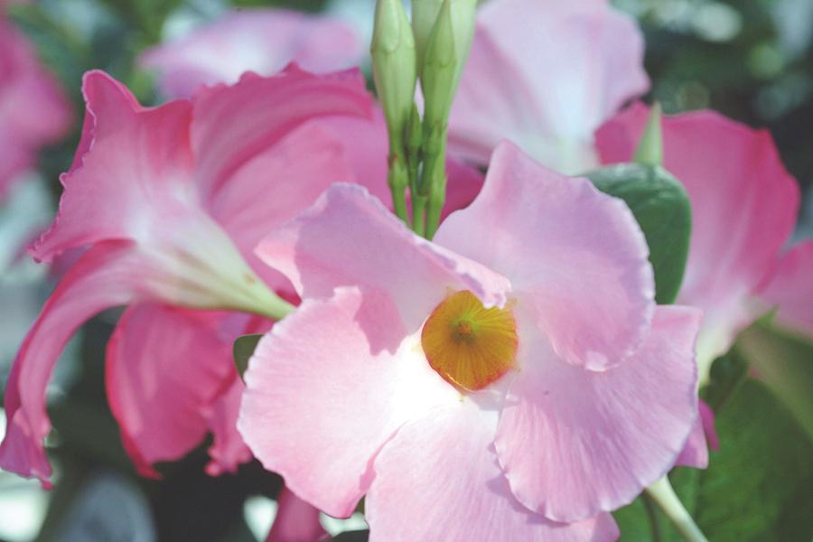 Sun Parasol Mandevilla Giant Pink Sunfire Nurseries