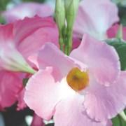 sun-parasol-mandevilla-Giant-Pink