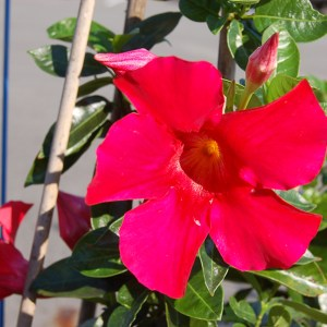 sun-parasol-mandevilla-original-strawberry-1