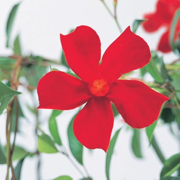 Sun-parasol-mandevilla-pretty-crimson-1