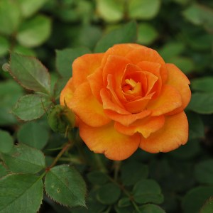 sunrosa-orange-delight-rose