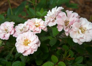 sunrosa-rose-soft-pink