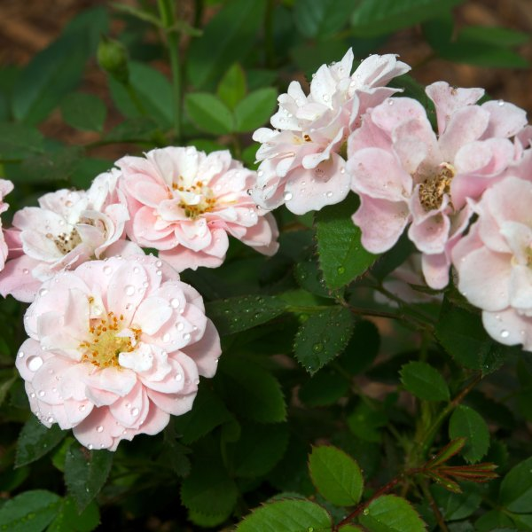 sunrosa-rose-soft-pink