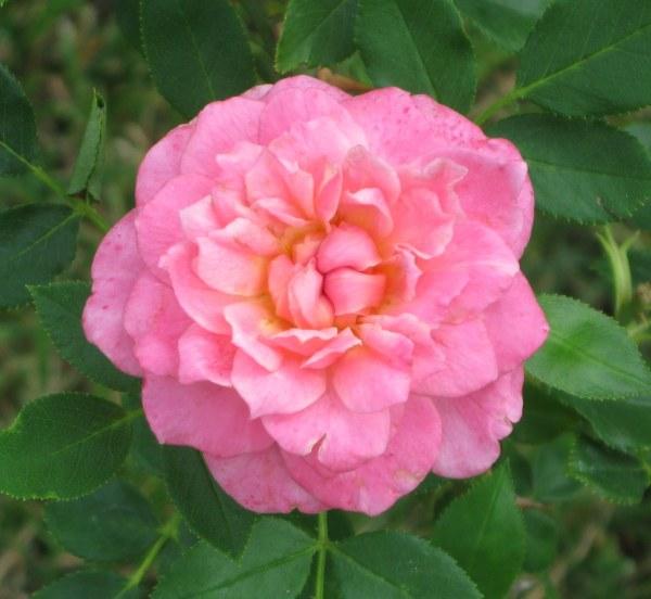 Sunrosa-rose-fragrant-pink