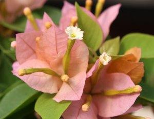 sunvillea-bougainvillea-pink