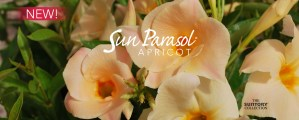 Sunfire-nurseries-sun-parasol-apricot-slide-ample3