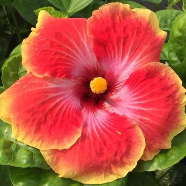 acapulco-gold-hibiscus