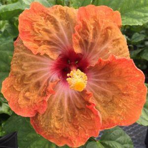 tahitian-slow-burn-hibiscus