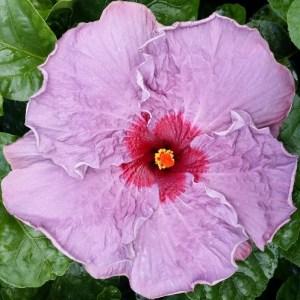 Tahitian_Purple_Goddess_hibiscus__98849.1453922470.1280.1280