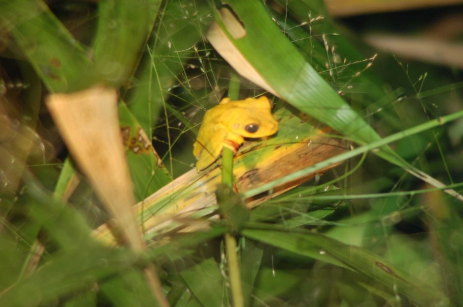 frogs tambopata