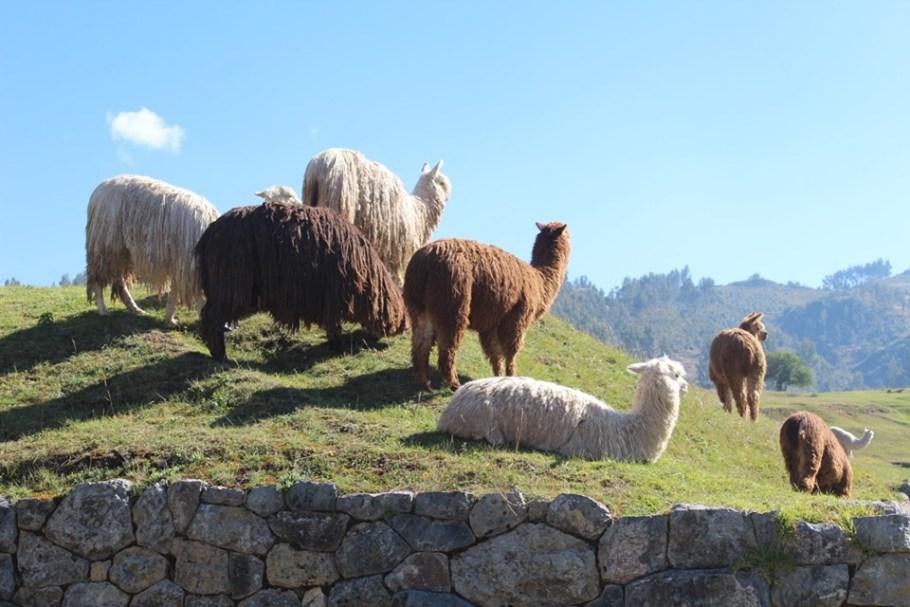 alpacas peru short escape