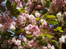 Ornamental Cherry Blossom