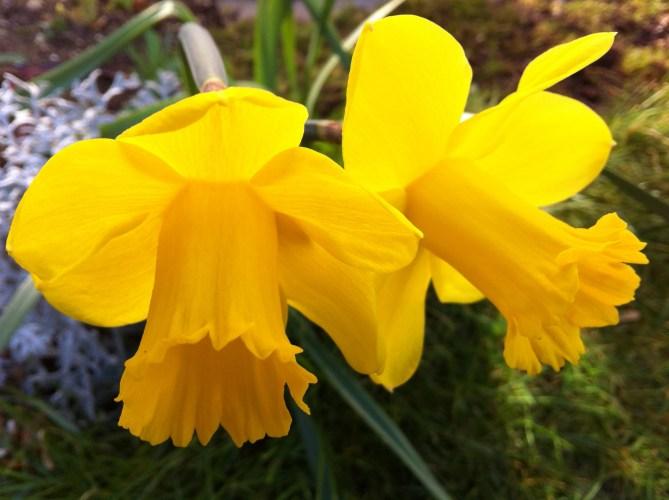 Just a Few Daffodils