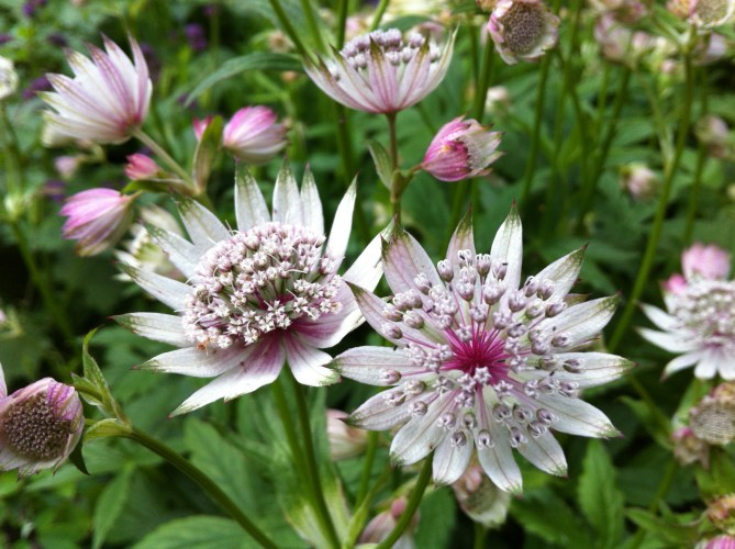 Germinating Astrantia
