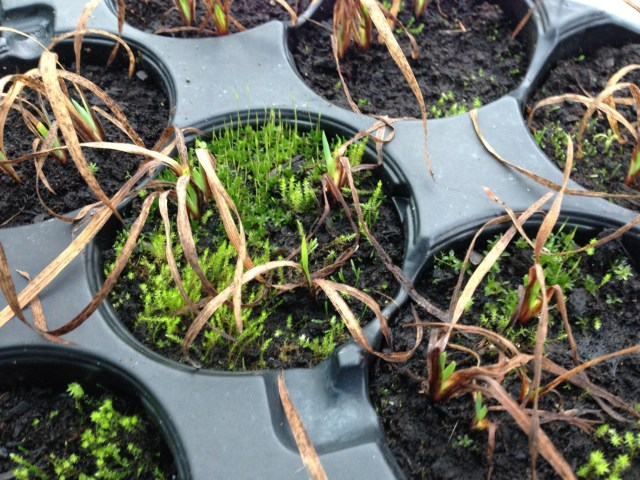 Mossy Seed Trays