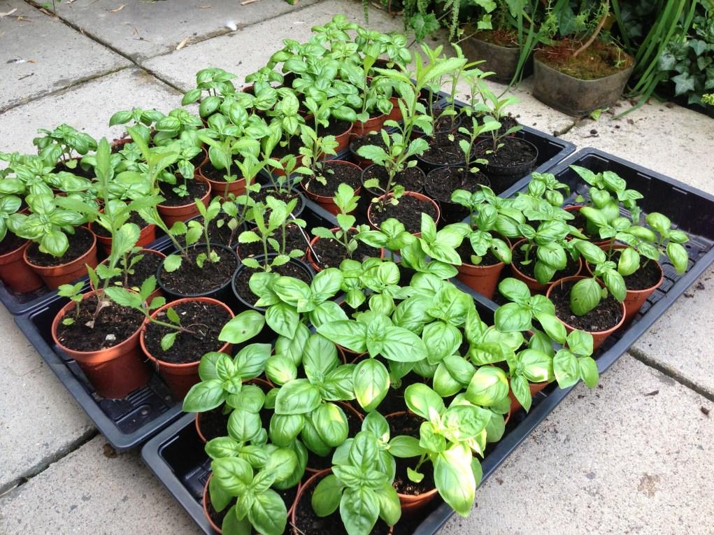 Basil and Verbena Seedlings