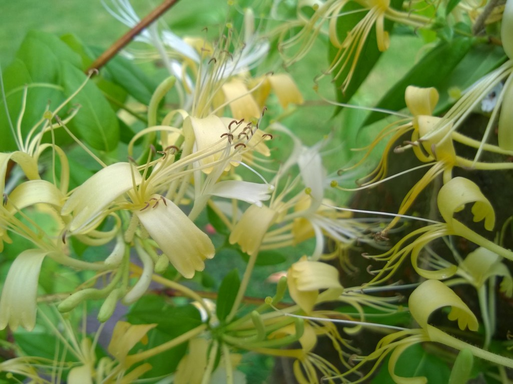 Honeysuckle Flowers