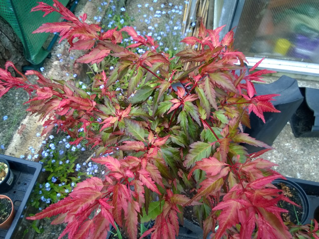 New Young Acer