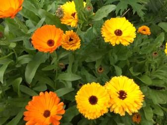 Flowering Calendula