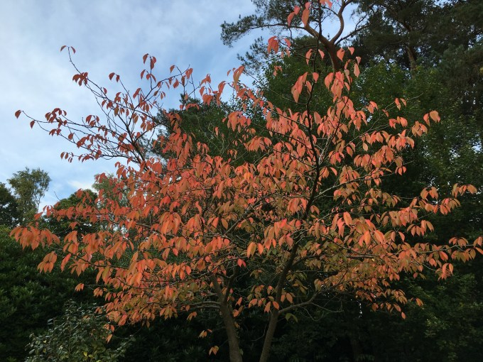 Autumn Colour on Ornamental Cherry