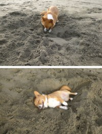 Dog digging his bed in the sand. That face is priceless