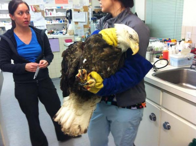 These Emergency Vets Never Expected A Massive Bald Eagle